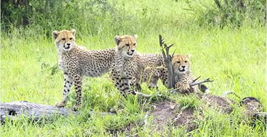 cheetahs390