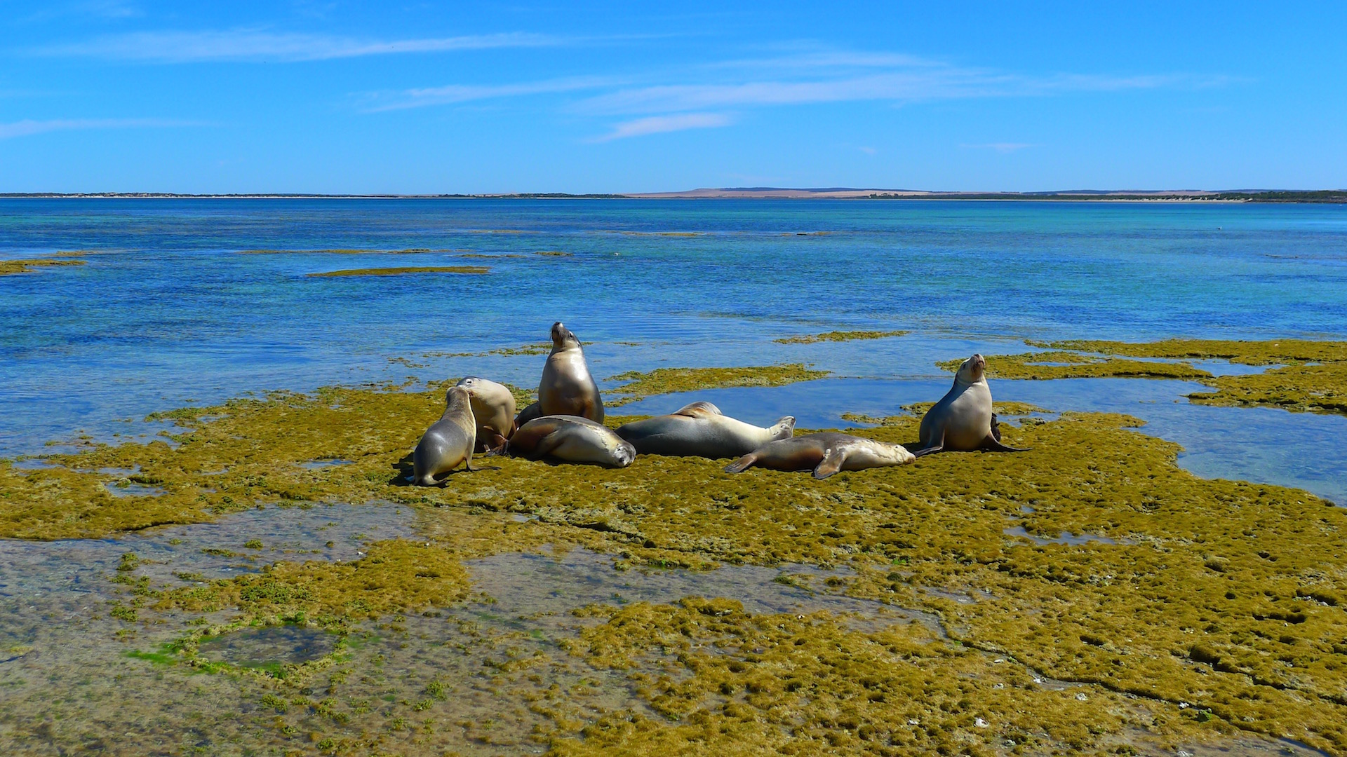 Seals at Eyre Peninsula, SA