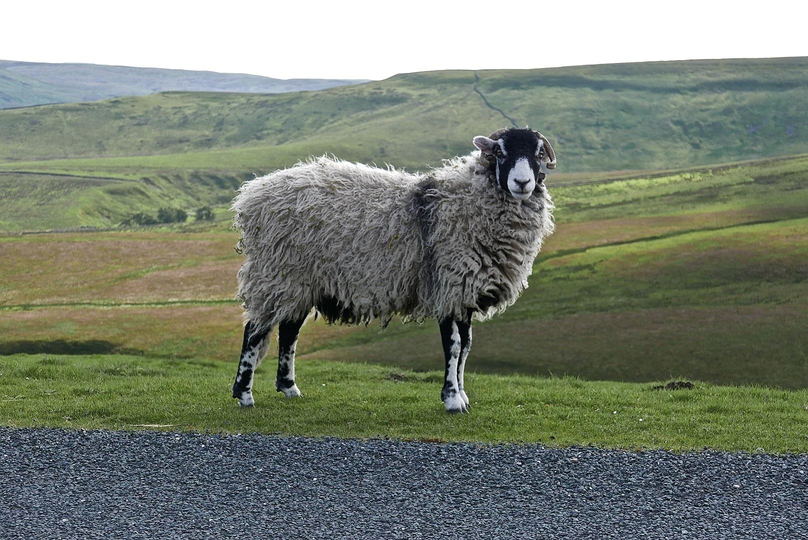 Sheep on moors | Photo: Michael Webb